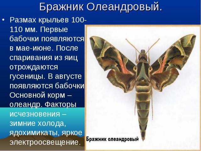 Размах крыльев 100-110 мм. Первые бабочки появляются в мае-июне. После спаривания из яиц отрождаются гусеницы. В августе появляются бабочки. Основной корм – олеандр. Факторы исчезновения – зимние холода, ядохимикаты, яркое электроосвещение. Размах к…