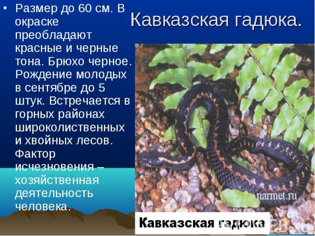 Размер до 60 см. В окраске преобладают красные и черные тона. Брюхо черное. Рождение молодых в сентябре до 5 штук. Встречается в горных районах широколиственных и хвойных лесов. Фактор исчезновения – хозяйственная деятельность человека. Размер до 60…