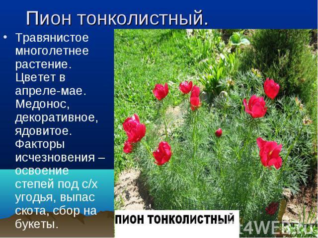Травянистое многолетнее растение. Цветет в апреле-мае. Медонос, декоративное, ядовитое. Факторы исчезновения – освоение степей под с/х угодья, выпас скота, сбор на букеты. Травянистое многолетнее растение. Цветет в апреле-мае. Медонос, декоративное,…