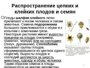 Плоды шалфея клейкого легко прилипают к ногам человека и лапам животных. Семена