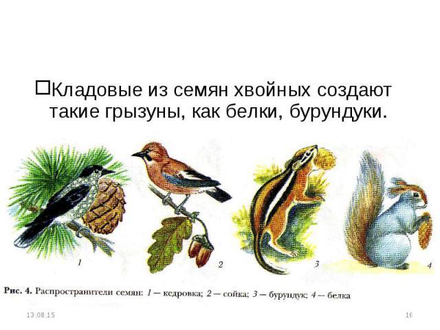 Кладовые из семян хвойных создают такие грызуны, как белки, бурундуки. Кладовые из семян хвойных создают такие грызуны, как белки, бурундуки.