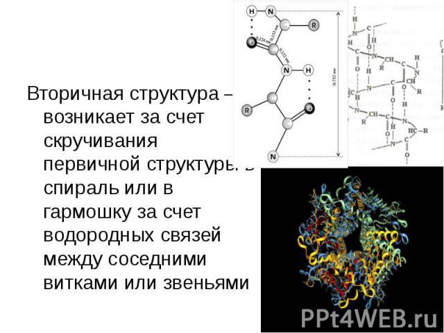Вторичная структура – возникает за счет скручивания первичной структуры в спираль или в гармошку за счет водородных связей между соседними витками или звеньями Вторичная структура – возникает за счет скручивания первичной структуры в спираль или в г…