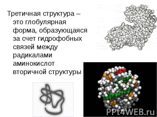 Третичная структура – это глобулярная форма, образующаяся за счет гидрофобных связей между радикалами аминокислот вторичной структуры Третичная структура – это глобулярная форма, образующаяся за счет гидрофобных связей между радикалами аминокислот в…