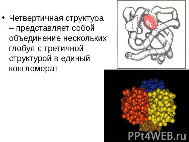 Четвертичная структура – представляет собой объединение нескольких глобул с третичной структурой в единый конгломерат Четвертичная структура – представляет собой объединение нескольких глобул с третичной структурой в единый конгломерат