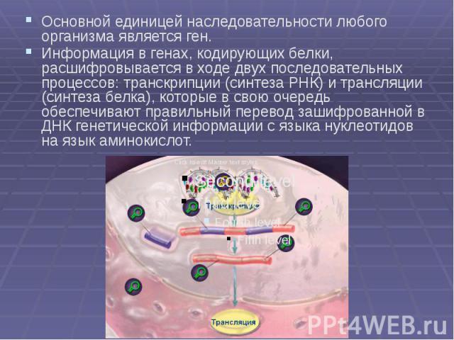 Основной единицей наследовательности любого организма является ген. Основной единицей наследовательности любого организма является ген. Информация в генах, кодирующих белки, расшифровывается в ходе двух последовательных процессов: транскрипции (синт…
