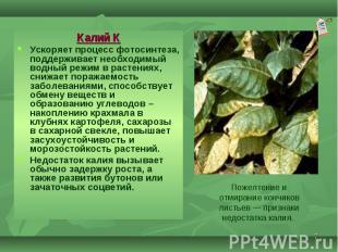 Калий К Калий К Ускоряет процесс фотосинтеза, поддерживает необходимый водный ре