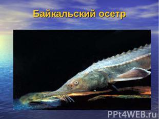 Байкальский осетр