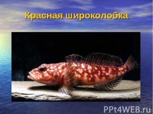 Красная широколобка