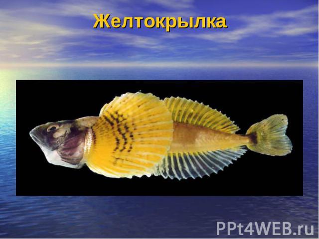Желтокрылка