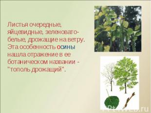 Листья очередные, яйцевидные, зеленовато-белые, дрожащие на ветру. Эта особеннос