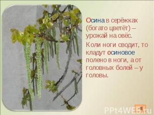 Осина в серёжках (богато цветёт) – урожай на овёс. Осина в серёжках (богато цвет