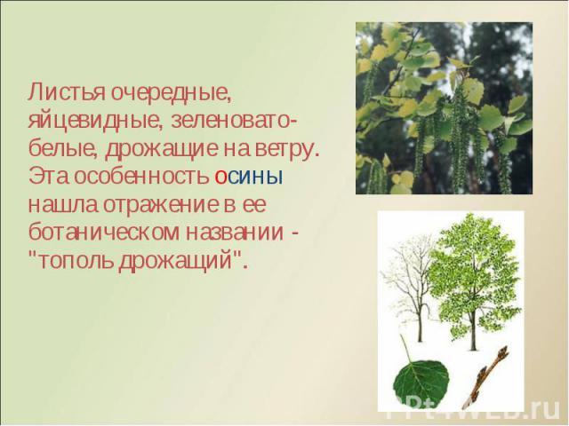 """Листья очередные, яйцевидные, зеленовато-белые, дрожащие на ветру. Эта особенность осины нашла отражение в ее ботаническом названии - """"тополь дрожащий"""". Листья очередные, яйцевидные, зеленовато-белые, дрожащие на ветру. Эта особенность оси…"""