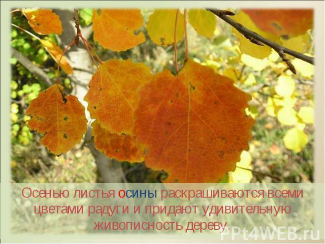Осенью листья осины раскрашиваются всеми цветами радуги и придают удивительную живописность дереву. Осенью листья осины раскрашиваются всеми цветами радуги и придают удивительную живописность дереву.