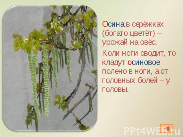 Осина в серёжках (богато цветёт) – урожай на овёс. Осина в серёжках (богато цветёт) – урожай на овёс. Коли ноги сводит, то кладут осиновое полено в ноги, а от головных болей – у головы.
