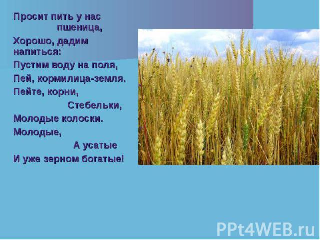 Просит пить у нас пшеница, Просит пить у нас пшеница, Хорошо, дадим напиться: Пустим воду на поля, Пей, кормилица-земля. Пейте, корни, Стебельки, Молодые колоски. Молодые, А усатые И уже зерном богатые!