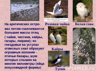 На арктических остро- вах летом скапливаются большие массы птиц ( чайки, чистики