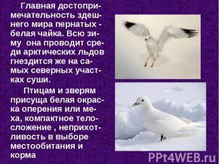 Главная достопри-мечательность здеш-него мира пернатых - белая чайка. Всю зи-му&