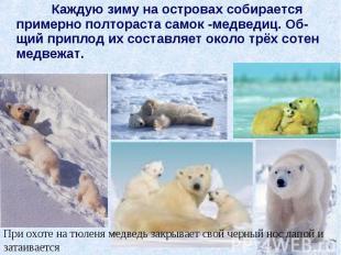 Каждую зиму на островах собирается примерно полтораста самок -медведиц. Об-щий п