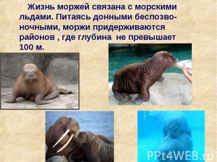 Жизнь моржей связана с морскими льдами. Питаясь донными беспозво-ночными, моржи