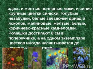 здесь и желтые полярные маки, и синие крупные цветки синюхи, голубые незабудки,