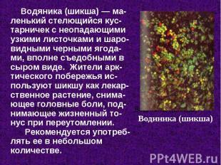 Водяника (шикша) — ма-ленький стелющийся кус-тарничек с неопадающими узкими лист