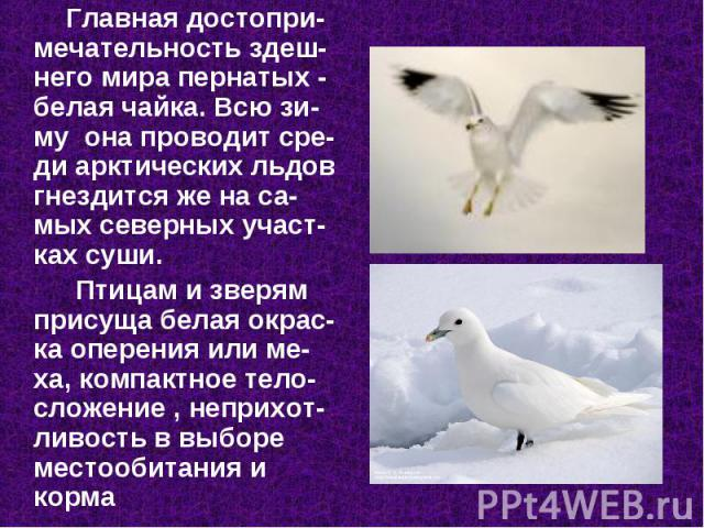 Главная достопри-мечательность здеш-него мира пернатых - белая чайка. Всю зи-му она проводит сре-ди арктических льдов гнездится же на са-мых северных участ-ках суши. Главная достопри-мечательность здеш-него мира пернатых - белая чайка. Всю зи-…