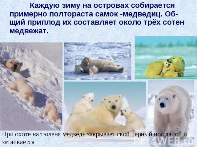 Каждую зиму на островах собирается примерно полтораста самок -медведиц. Об-щий приплод их составляет около трёх сотен медвежат. Каждую зиму на островах собирается примерно полтораста самок -медведиц. Об-щий приплод их составляет около трёх сотен медвежат.