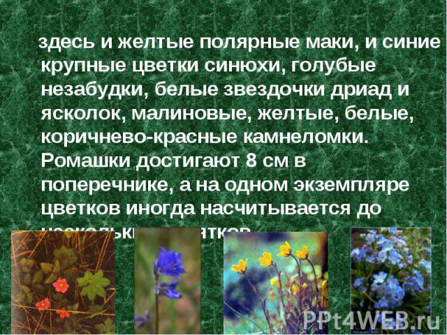 здесь и желтые полярные маки, и синие крупные цветки синюхи, голубые незабудки, белые звездочки дриад и ясколок, малиновые, желтые, белые, коричнево-красные камнеломки. Ромашки достигают 8 см в поперечнике, а на одном экземпляре цветков иногда насчи…