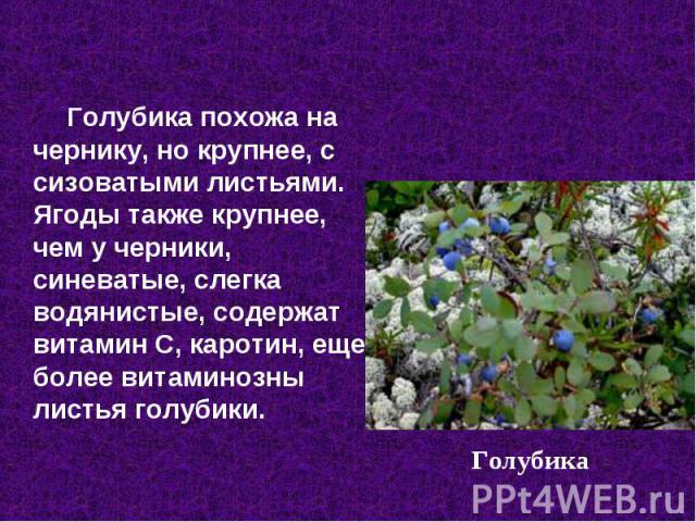 Голубика похожа на чернику, но крупнее, с сизоватыми листьями. Ягоды также крупнее, чем у черники, синеватые, слегка водянистые, содержат витамин С, каротин, еще более витаминозны листья голубики.