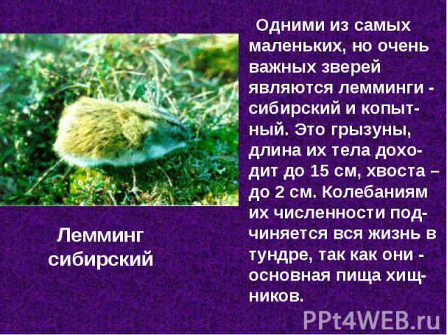 Одними из самых маленьких, но очень важных зверей являются лемминги - сибирский и копыт-ный. Это грызуны, длина их тела дохо-дит до 15 см, хвоста – до 2 см. Колебаниям их численности под-чиняется вся жизнь в тундре, так как они - основная пища хищ-н…