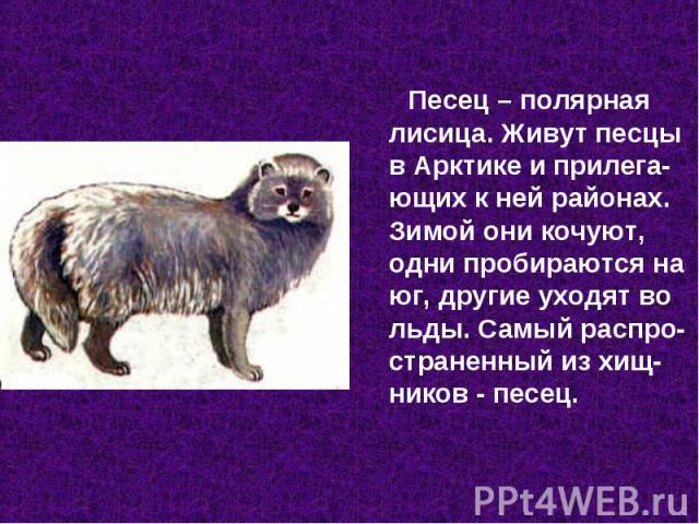 Песец – полярная лисица. Живут песцы в Арктике и прилега-ющих к ней районах. Зимой они кочуют, одни пробираются на юг, другие уходят во льды. Самый распро-страненный из хищ-ников - песец.