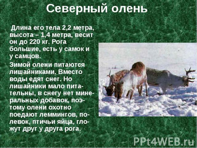 Длина его тела 2,2 метра, высота – 1,4 метра, весит он до 220 кг. Рога большие, есть у самок и у самцов. Длина его тела 2,2 метра, высота – 1,4 метра, весит он до 220 кг. Рога большие, есть у самок и у самцов. Зимой олени питаются лишайниками. Вмест…