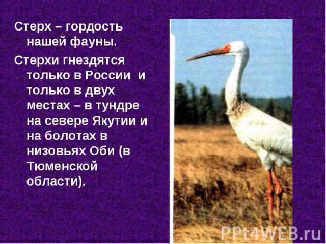 Стерх – гордость нашей фауны. Стерх – гордость нашей фауны. Стерхи гнездятся только в России и только в двух местах – в тундре на севере Якутии и на болотах в низовьях Оби (в Тюменской области).