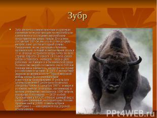 Зубр Зубр является самым тяжелым и крупным наземным млекопитающим на европейском