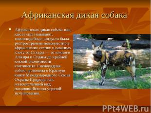 Африканская дикая собака Африканская дикая собака или, как ее еще называют, гиен