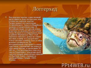 Логгерхед Вид морских черепах, единственный представитель рода логгерхедов, или
