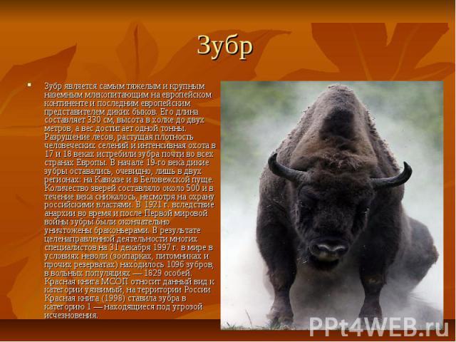 Зубр Зубр является самым тяжелым и крупным наземным млекопитающим на европейском континенте и последним европейским представителем диких быков. Его длина составляет 330 см, высота в холке до двух метров, а вес достигает одной тонны. Разрушение лесов…