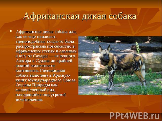 Африканская дикая собака Африканская дикая собака или, как ее еще называют, гиеноподобная, когда-то была распространена повсеместно в африканских степях и саваннах к югу от Сахары — от южного Алжира и Судана до крайней южной оконечности континента. …