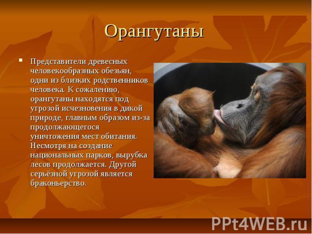 Орангутаны Представители древесных человекообразных обезьян, одни из близких родственников человека. К сожалению, орангутаны находятся под угрозой исчезновения в дикой природе, главным образом из-за продолжающегося уничтожения мест обитания. Несмотр…