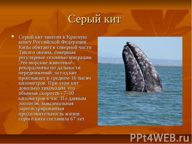 Серый кит Серый кит занесен в Красную книгу Российской Федерации. Киты обитают в северной части Тихого океана, совершая регулярные сезонные миграции. Эти морские животные - рекордсмены по дальности передвижений: за год кит проплывает в среднем 16 ты…