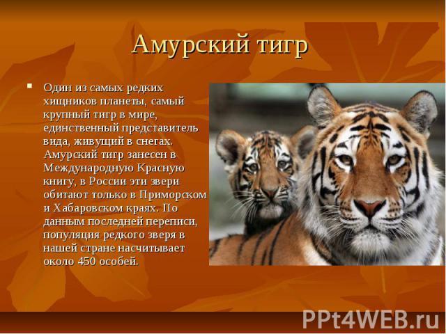 Амурский тигр Один из самых редких хищников планеты, самый крупный тигр в мире, единственный представитель вида, живущий в снегах. Амурский тигр занесен в Международную Красную книгу, в России эти звери обитают только в Приморском и Хабаровском края…