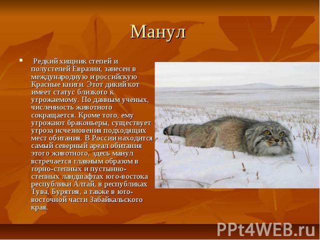 Манул Редкий хищник степей и полустепей Евразии, занесен в международную и российскую Красные книги. Этот дикий кот имеет статус близкого к угрожаемому. По данным ученых, численность животного сокращается. Кроме того, ему угрожают браконьеры, …