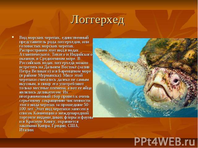 Логгерхед Вид морских черепах, единственный представитель рода логгерхедов, или головастых морских черепах. Распространен этот вид в водах Атлантического, Тихого и Индийского океанов, в Средиземном море. В Российских водах логгерхеда можно встретить…