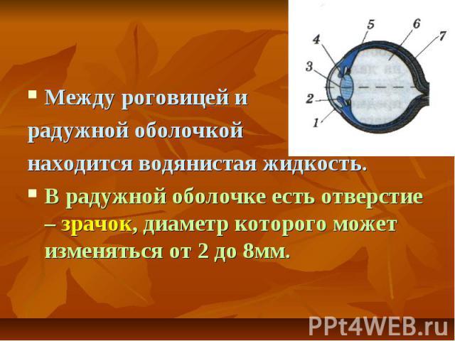 Между роговицей и радужной оболочкой находится водянистая жидкость. В радужной оболочке есть отверстие – зрачок, диаметр которого может изменяться от 2 до 8мм.