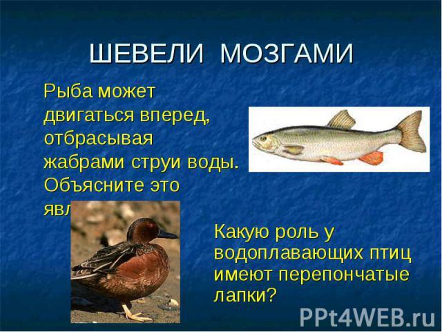ШЕВЕЛИ МОЗГАМИ Рыба может двигаться вперед, отбрасывая жабрами струи воды. Объясните это явление.