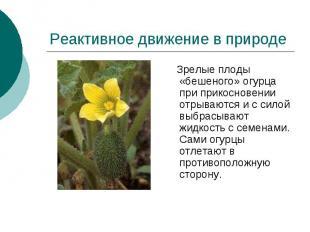 Реактивное движение в природе Зрелые плоды «бешеного» огурца при прикосновении о