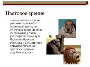 Цветовое зрение Собака не очень хорошо различает красный и оранжевый цвета, но о