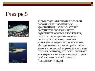 Глаз рыб У рыб глаза отличаются плоской роговицей и шаровидным хрусталиком. В за