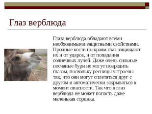 Глаз верблюда Глаза верблюда обладают всеми необходимыми защитными свойствами. П