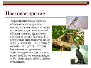 Цветовое зрение Хорошим цветовым зрением обладают многие дневные птицы, различаю